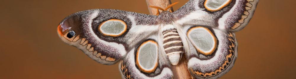 موسوعة الفراشة